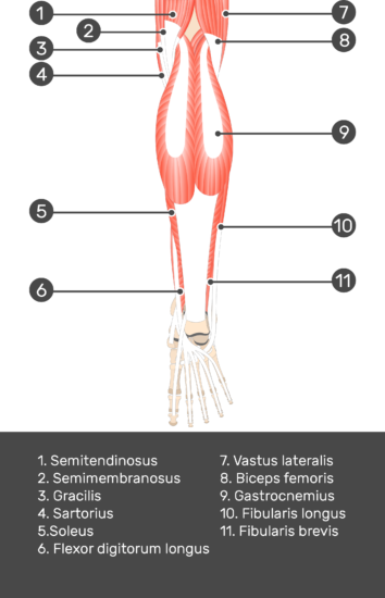 Tibialis Posterior Muscle - Test yourself 1