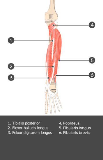 Tibialis Posterior Muscle - Test yourself 10