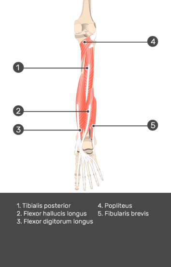 Tibialis Posterior Muscle - Test yourself 11
