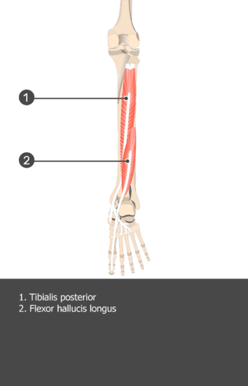 Tibialis Posterior Muscle - Test yourself 14