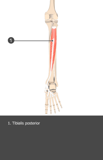 Tibialis Posterior Muscle - Test yourself 15