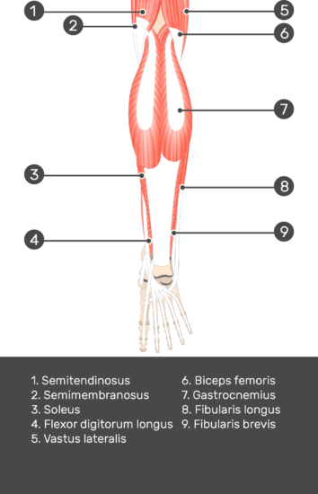 Tibialis Posterior Muscle - Test yourself 3
