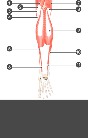 Tibialis Posterior Muscle - Test yourself