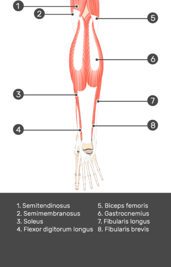 Tibialis Posterior Muscle - Test yourself 4