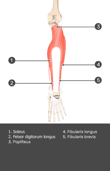 Tibialis Posterior Muscle - Test yourself 9