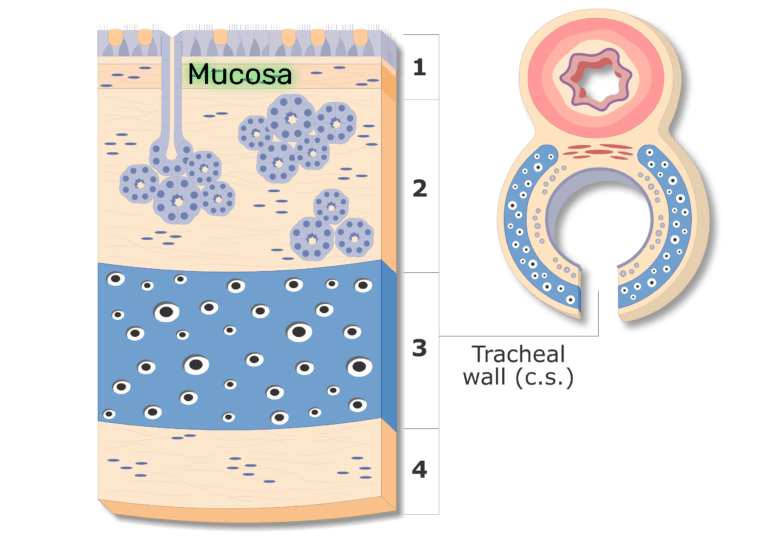 Tracheal Wall highlighting the mucosa