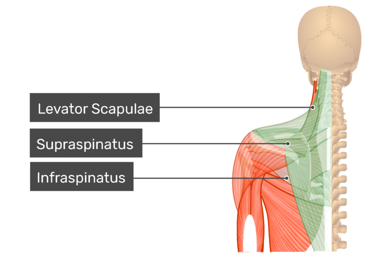 Posterior view labeled: Levator scapular, supraspinatus, infraspinatus