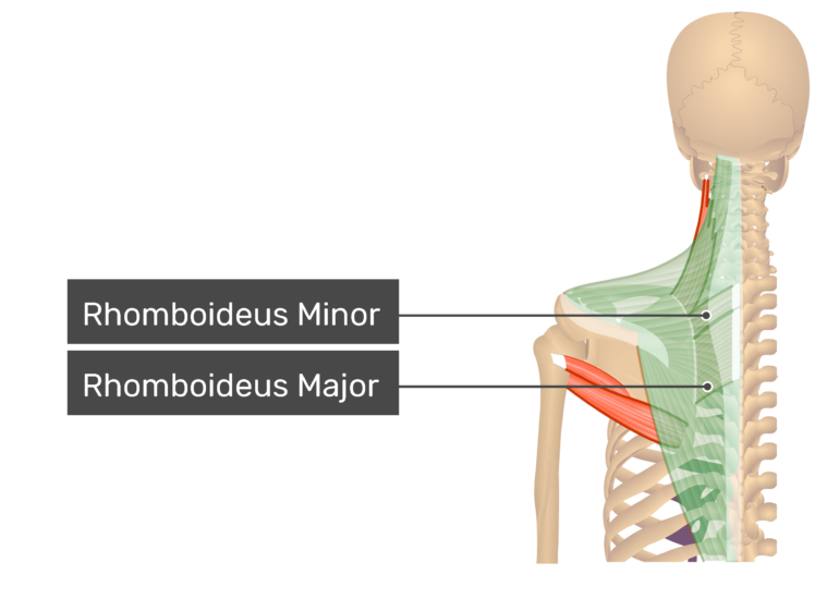 Posterior view labeled: Rhomboideus minor and major