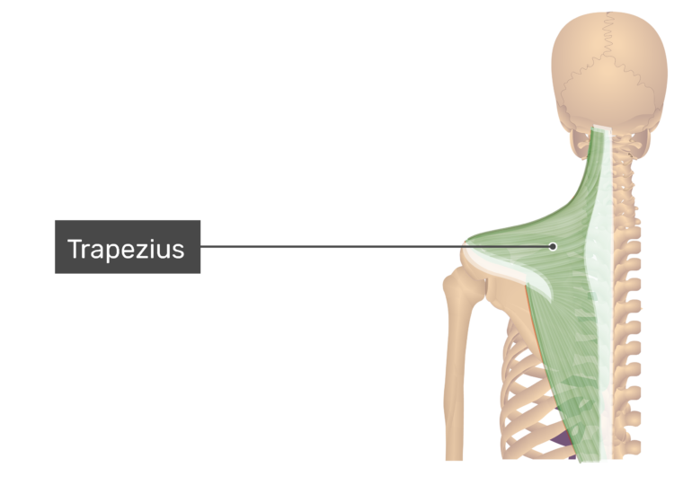 Posterior view labeled: Trapezius muscle