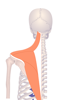 Fourth image in animation of a figure with an elevated scapula