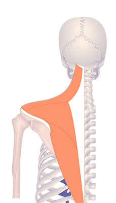 Fifth image in animation of a figure with an elevated scapula