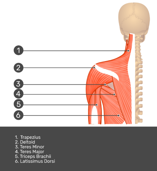 Posterior view labeled: Trapezius, deltoid, teres minor and major, triceps brachii, latissimus dorsi