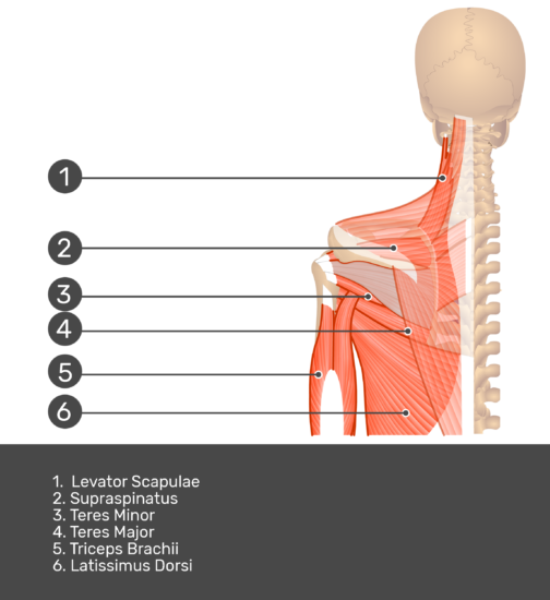 Posterior view labeled: Levator scapulae, supraspinatus, teres major and minor, triceps brachii, latissimus dorsi