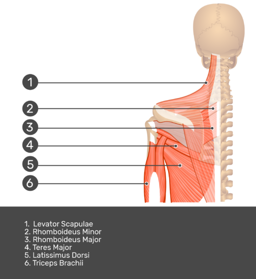 Posterior view labeled: Levator scapulae, rhomboideus major and minor, teres major, latissimus dorsi, triceps brachii