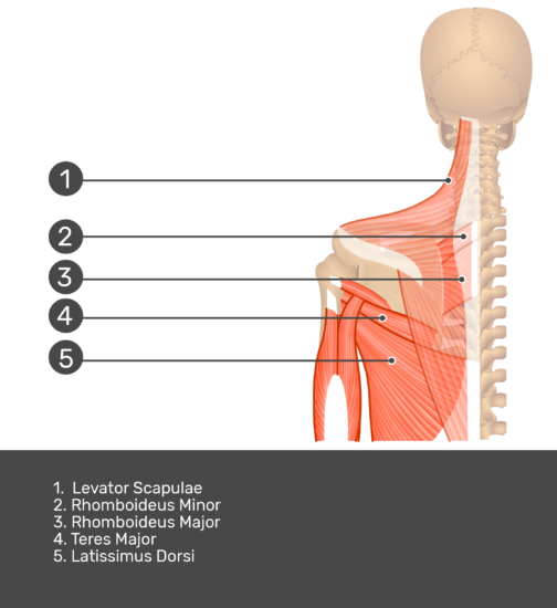 Posterior view labeled: Levator scapulae, rhomboideus minor and major, teres major, latissimus dorsi