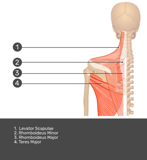 Posterior view labeled: Levator scapulae, rhomboideus minor and major, teres major