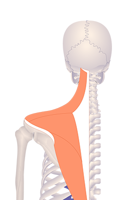 First image in animation of a figure with upwardly rotated scapula