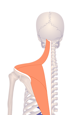 Second image in animation of a figure with upwardly rotated scapula