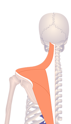 Fourth image in animation of a figure with upwardly rotated scapula