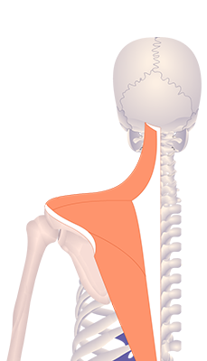 Fifth image in animation of a figure with upwardly rotated scapula