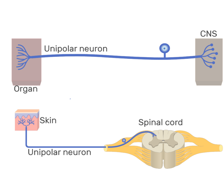 Unipolar Neuron Structure And Functions