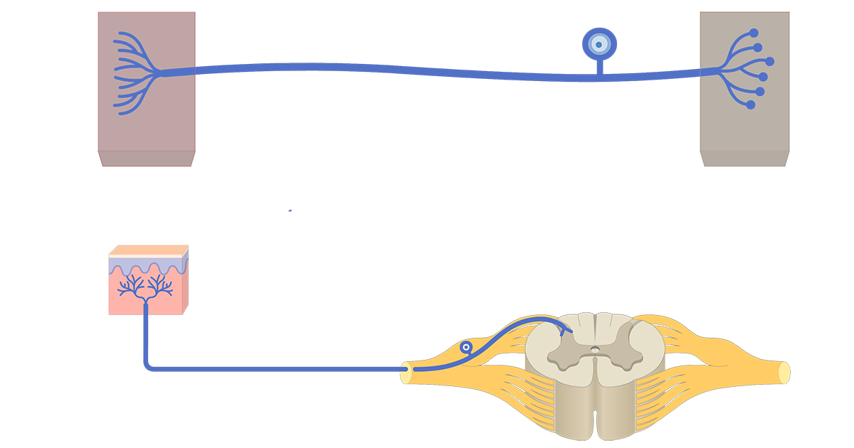 An image showing a unipolar neuron connecting between the organ and the CNS