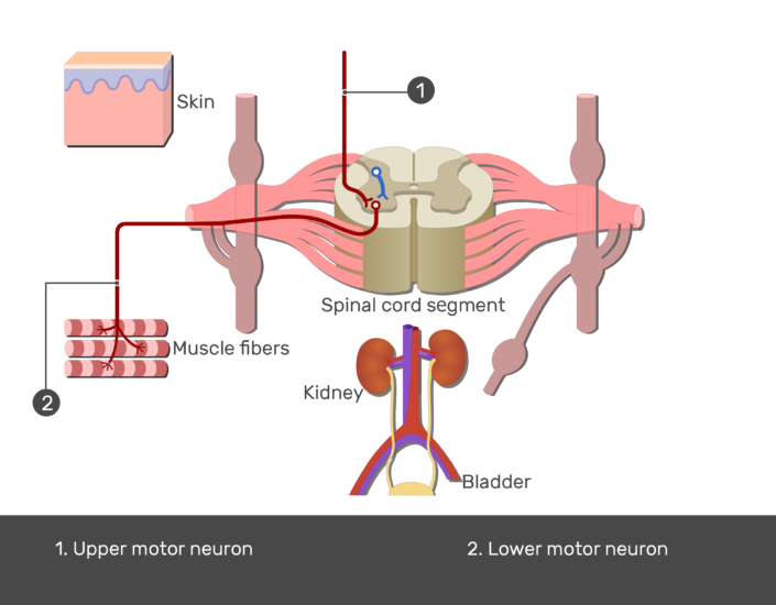 Test yourself image showing the pathway of the lateral horn of the spinal cord using Upper and Lower motor neurons numbered with answers below