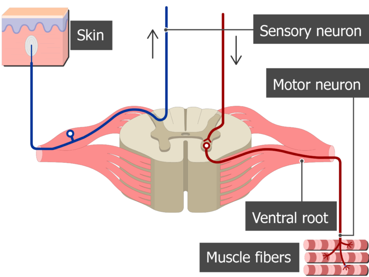 Spinal cord segment cross-sectional image showing the sensory nerve, motor nerve and the ventral root