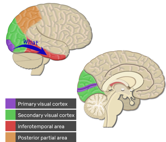 An image showing the Ventral stream of the Visual Areas (Primary visual cortex, Secondary visual cortex, inferotemporal area, and Posterior partial area) highlighted, lateral and sagittal view of the brain