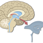 An image showing the Brain Ventricles in Midsagittal view