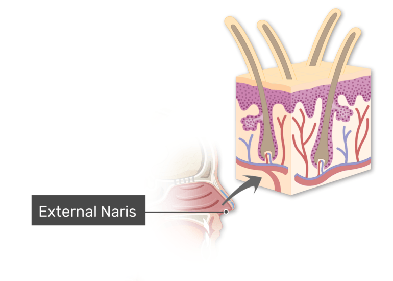 Midsagittal view of head and the external naris labeled