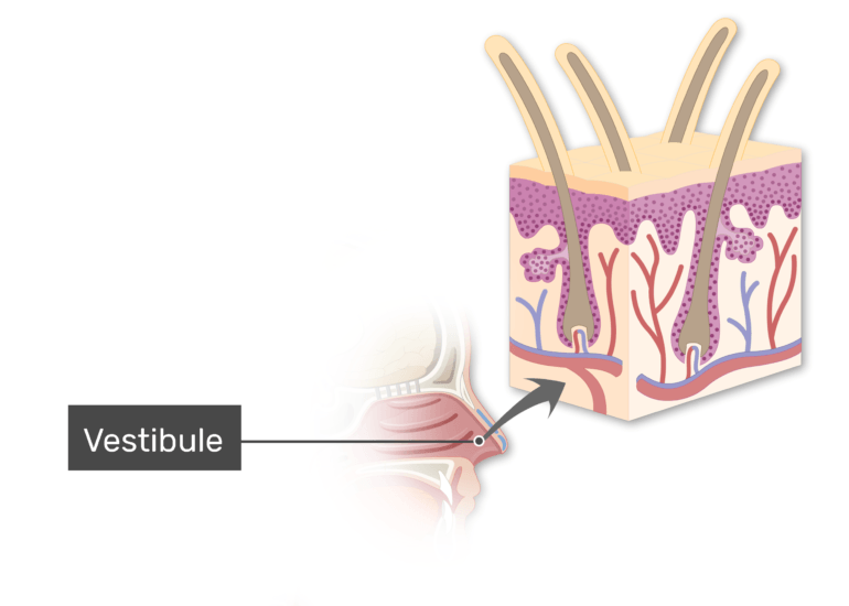 Midsagittal view of head and the vestibule labeled