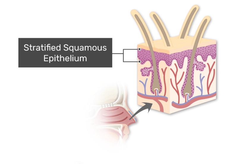 Stratified squamous epithelium labeled