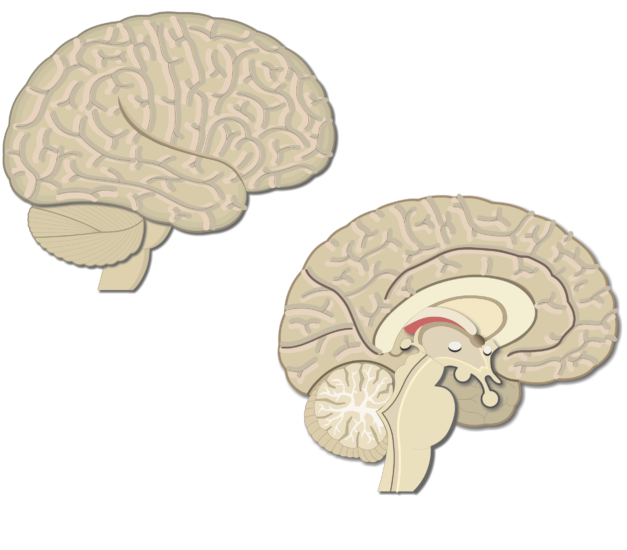 An image showing the lateral and sagittal view of the brain