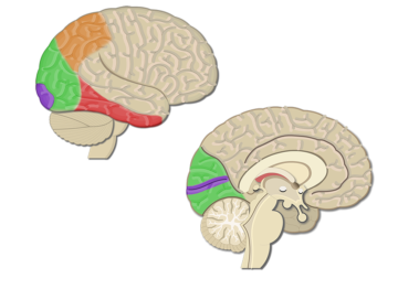 An image showing the Dorsal stream of the Visual Areas (Primary visual cortex, Secondary visual cortex, inferotemporal area, and Posterior partial area) highlighted, lateral and sagittal view of the brain