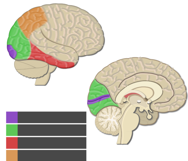 Test yourself image showing the Visual areas without answers (Primary visual cortex, Secondary visual cortex, inferotemporal area, and Posterior partial area) highlighted, lateral and sagittal view of the brain