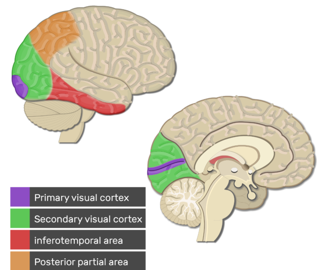Test yourself image showing the Visual areas with answers below (Primary visual cortex, Secondary visual cortex, inferotemporal area, and Posterior partial area) highlighted, lateral and sagittal view of the brain