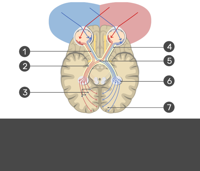 An image showing the action potential passing through the visual pathway (Optic nerve, Lateral geniculate nucleus, Primary visual cortex , Optic chiasma, Optic radiation, Optic tract, and Gangion cells) all numbered without answers