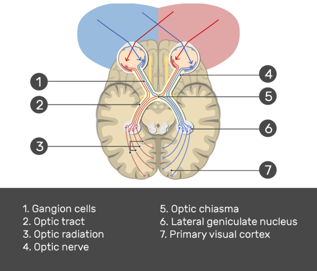 An image showing the action potential passing through the visual pathway (Optic nerve, Lateral geniculate nucleus, Primary visual cortex , Optic chiasma, Optic radiation, Optic tract, and Gangion cells) all numbered and answered below