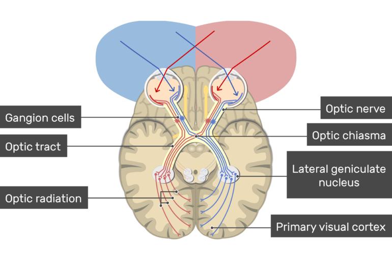 Visual Cortex Areas