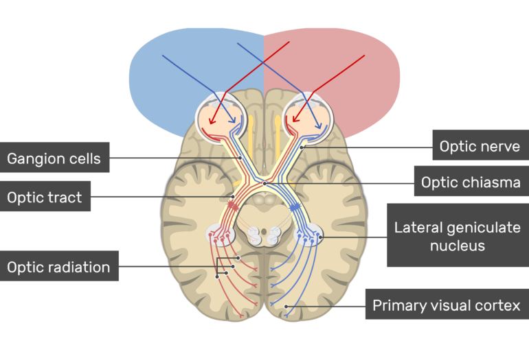 An image showing the action potential passing through the visual pathway (Optic nerve, Lateral geniculate nucleus, Primary visual cortex , Optic chiasma, Optic radiation, Optic tract, and Gangion cells)