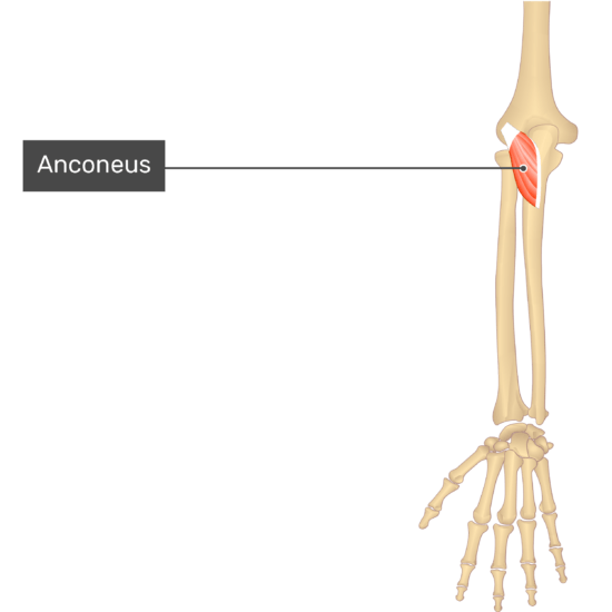 A dorsal view of the forearm showing the bony elements and isolated Anconeus muscle.