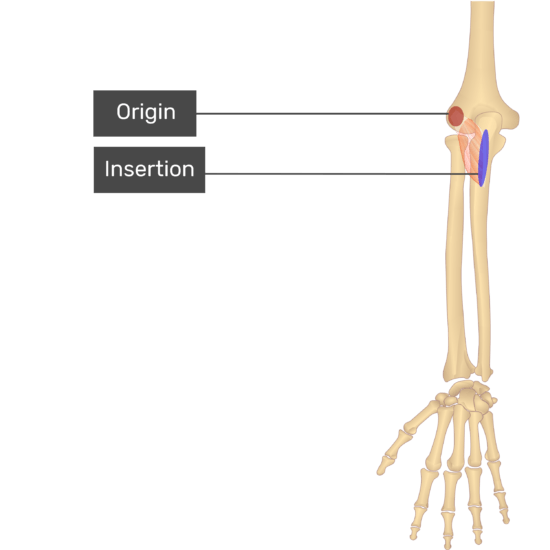 A dorsal view of the forearm showing the bony elements and the attachments of the Anconeus muscle. The origin at the lateral epicondyle of humerus is marked by a red circle and the insertion at the posterior olecranon process of the ulna is marked by a blue oval.
