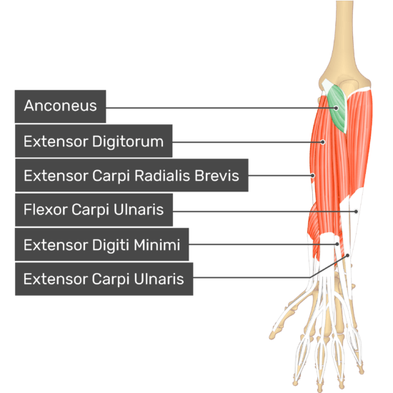 A dorsal view of the forearm showing the bony elements and the deeper muscles. The visible, labelled muscles are as follows: Anconeus (highlighted in green), Extensor Digitorum, Extensor Carpi Radialis Brevis, Flexor Carpi Ulnaris, Extensor Digiti Minimi, Extensor Carpi Ulnaris.