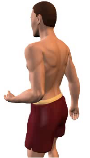 Image 1 of the animation for extension of the forearm at the elbow.