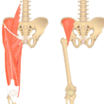 Iliacus Muscle