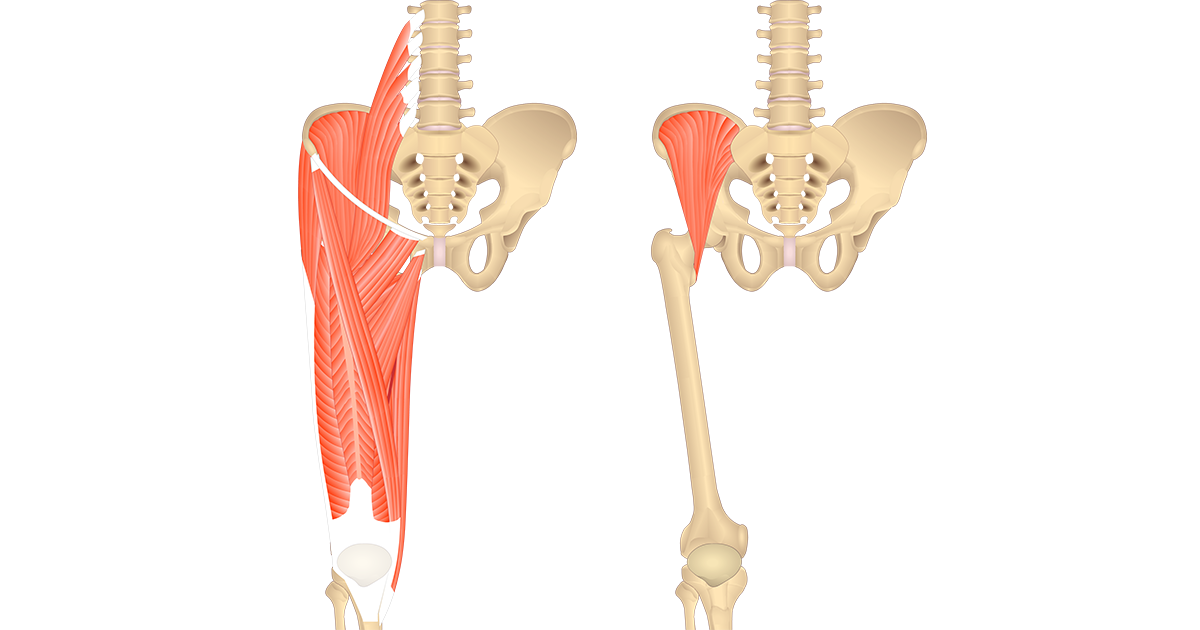 Muscles That Act On The Anterior Thigh Anatomy Function