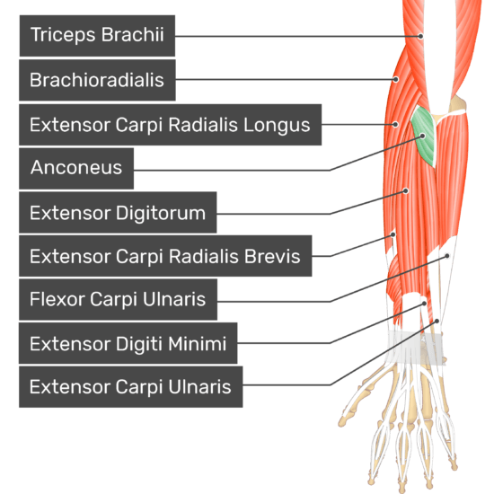 A dorsal view of the forearm showing the bony elements and the deeper muscles. The visible, labelled muscles are as follows: Triceps Brachii, Brachioradialis, Extensor Carpi Radialis Longus, Anconeus (highlighted in green), Extensor Digitorum, Extensor Carpi Radialis Brevis, Flexor Carpi Ulnaris, Extensor Digiti Minimi, Extensor Carpi Ulnaris.