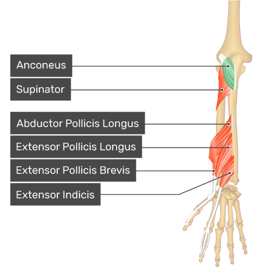 A dorsal view of the forearm showing the bony elements and the deeper muscles. The visible, labelled muscles are as follows: Anconeus (highlighted in green), Supinator, Abductor Pollicis Longus, Extensor Pollicis Longus, Extensor Pollicis Brevis, Extensor Indicis.
