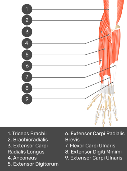 A test yourself image of the dorsal view of the forearm showing the bony elements and the deeper muscles. The visible muscles of the forearm are numbered 1-9. The answers in the box below are as follows 1. Triceps Brachii 2. Brachioradialis 3. Extensor Carpi Radialis Longus 4. Anconeus 5. Extensor Digitorum 6. Extensor Carpi Radialis Brevis 7. Flexor Carpi Ulnaris 8. Extensor Digiti Minimi 9. Extensor Carpi Ulnaris.